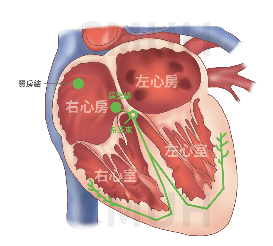 心臟解剖構造